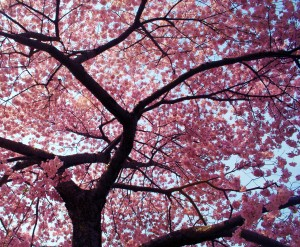 spring_cherry_blossoms_post